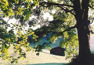 Green maple tree and barn