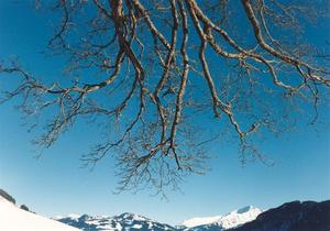 snow covered moutain horizon with descending branches, deep ble sky, interesting photo