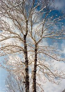 Twin trees covered with thin snow layer against cloudy blue sky
