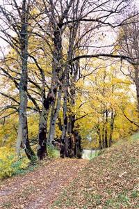Alleé of birch trees in autumn