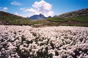 White flower field on mountain top