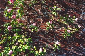 Roses on brick wall