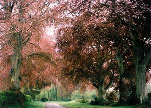Copper Beech trees on the road leading to the Krishnamurti Centre