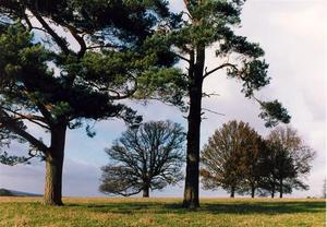 Pine and other trees
