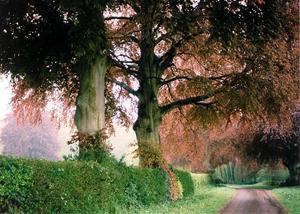 Allée of Copper Beeches