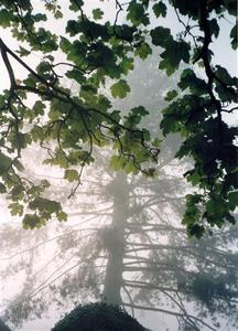 Green leaves of an oak tree emerging from a backdrop of fog