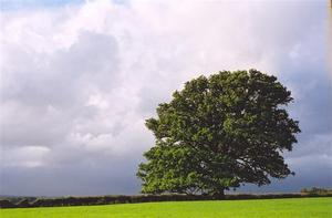 Oak tree in field aginst heavy sky