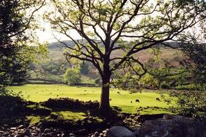 Oak tree near stream, broken stone wall, against light and bright green field with grazing sheep