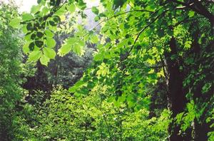 Green leaves in dense forest
