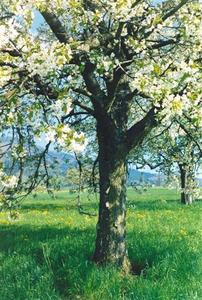 Blooming cherry tree, CH