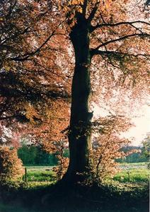 Copper beech tree in Brockwood