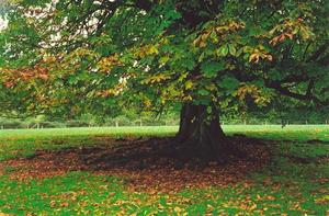 Horse chestnut tree with fallen leaves