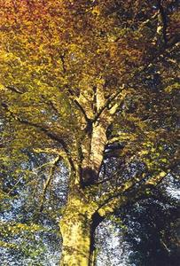Copper beech in autumn