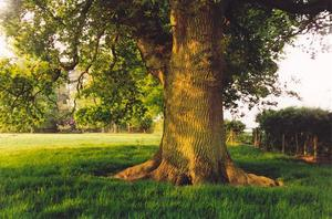 Oak tree in green field