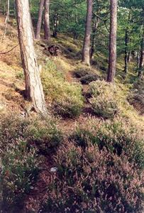 Pine forest with heather