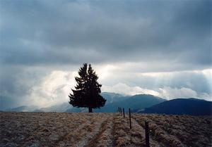 Pine tree in fenced field with clouds