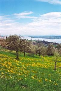 View of Lake Constanz from apple orchard