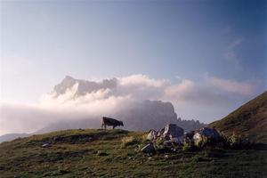 Grazing cow in a rocky meadow