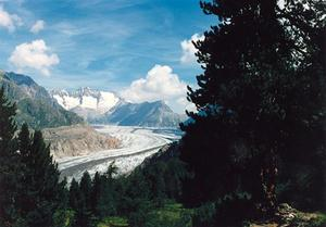 Aletsch Glacier through tree