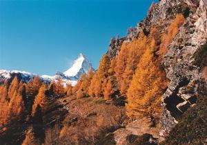 Matterhorn behind larch trees and rocks along path