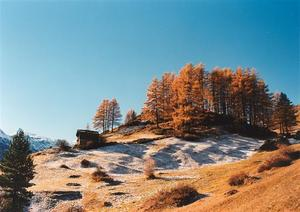 Larch trees and hut on a hill