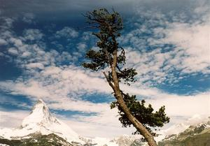 Single tree in front of the Matterhorn