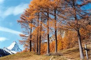 Matterhorn with row of larch trees, cross