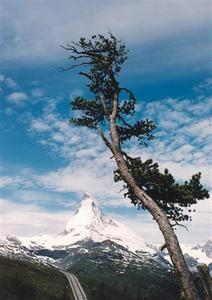Single tree in front of the Matterhorn and rail track