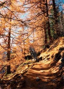 Path through larch forest
