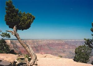 Grand Canyon, Tree