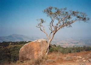 Tree growing along rock, view of the valley, R.V.