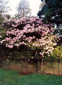 Pink Rhododendron tree at the front entrance of the Grove