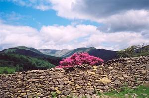Pink Rhododenrons behind stone wall, hills and clouds