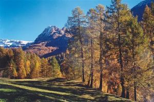 Pine tree forest in fall and mountain in Leukerbad