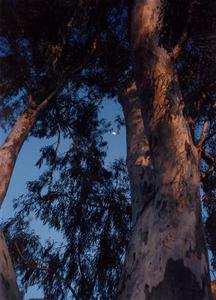 Moon through Eucalyptus trees