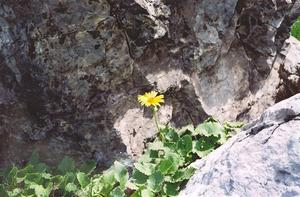 Yellow flower in rocks