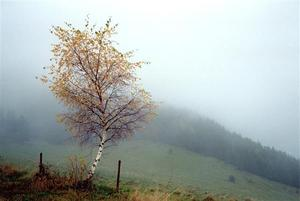 Birch with yewllow leaves on a misty hill