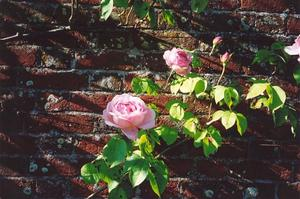 Rose on brick wall