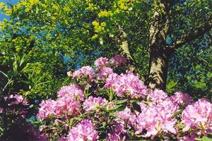 Pink rhododendron flowers and trees angainst bright blue sky