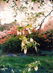 Brach of a Handkerchief tree