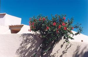 Hibiscus bush against white washed wall and deep blue sky