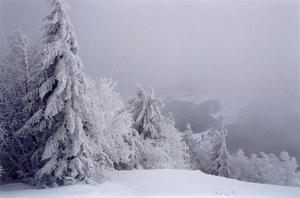 Snow covered trees in fog