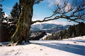 Tree trunk in snow covered black forest