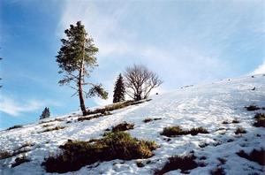 Trees on  a snow covered slope
