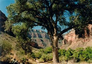Tree along the pathto the bottom of the Grand Canyon