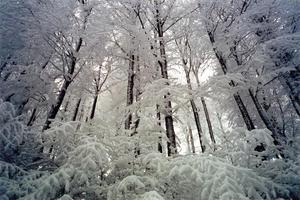 Dark pine trunks and snow covered branches