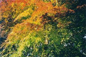 Colorful copper beech tree leaves, BP