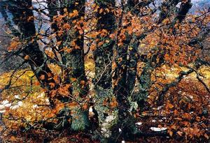 Lichen covered trees with orange leaves