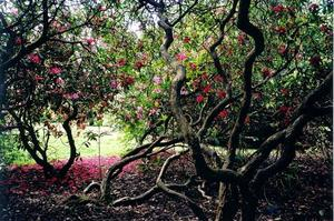 Rhododendron trees in bloom at the Grove entrance