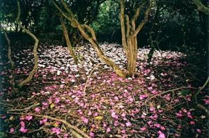 Fallen pink rhododendron flowers on the grove ground